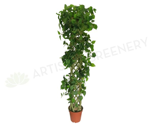 T0102 Fake Jade Pothos Tree With Braided Trunk 180cm