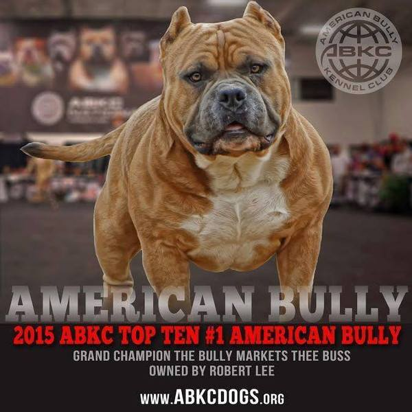 Everything You Need to Know About The American Bully | The