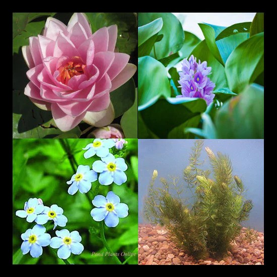 Small Pond Plants Sale
