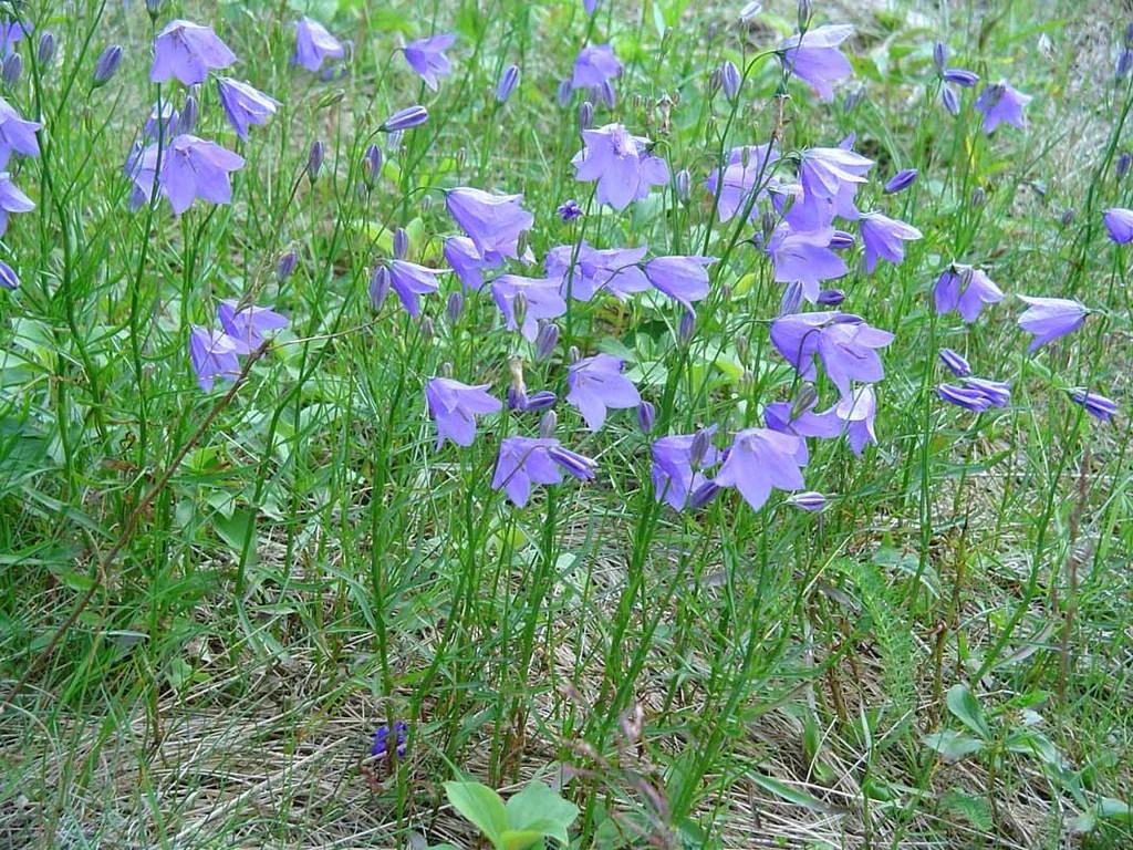Campanula rotundifolia (Bluebell Bellflower) – Northeast ...