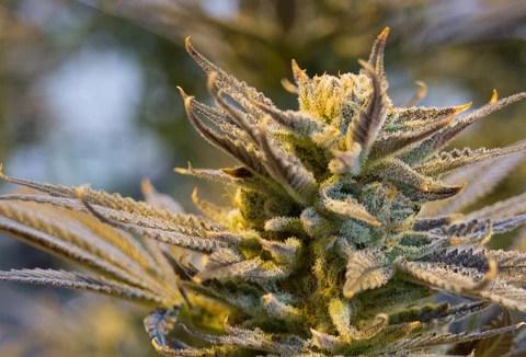 Michigan Cannabis Processing Growing Marijuana Michigan Weed