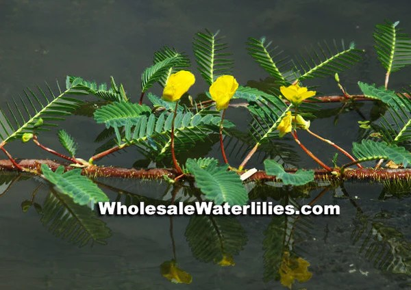 Planting Water Lilies Fish Pond