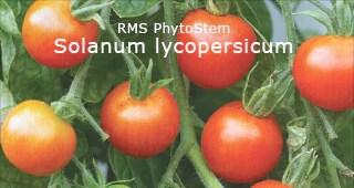 Solanum licopersicum