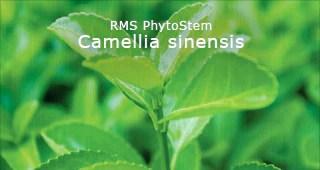 Camilla sinensis