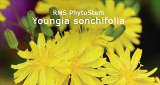 Youngia sonchifolia