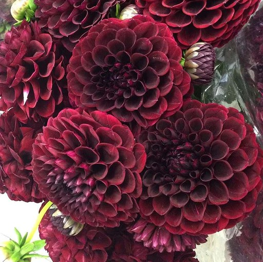 Dahlias     Tagged  burgundy      Flower Moxie Dahlia  Burgundy
