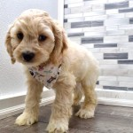 Reserved Curt Male Miniature Cockapoo Puppy