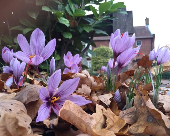 All About Growing Saffron from Crocus Sativus Bulbs ...