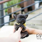 Ben French Bulldog Rolly Teacup Puppies