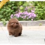Sold To Grigore Chocolate Pomeranian M Rolly Teacup Puppies