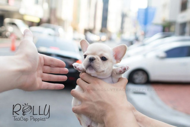 molly - french bulldog– rolly teacup puppies