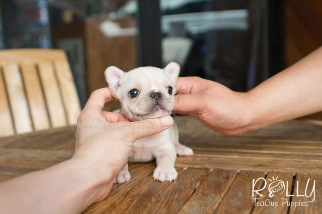 summer - french bulldog– rolly teacup puppies