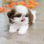 Purchase Toy Shih Tzu Breeders Up To 68 Off