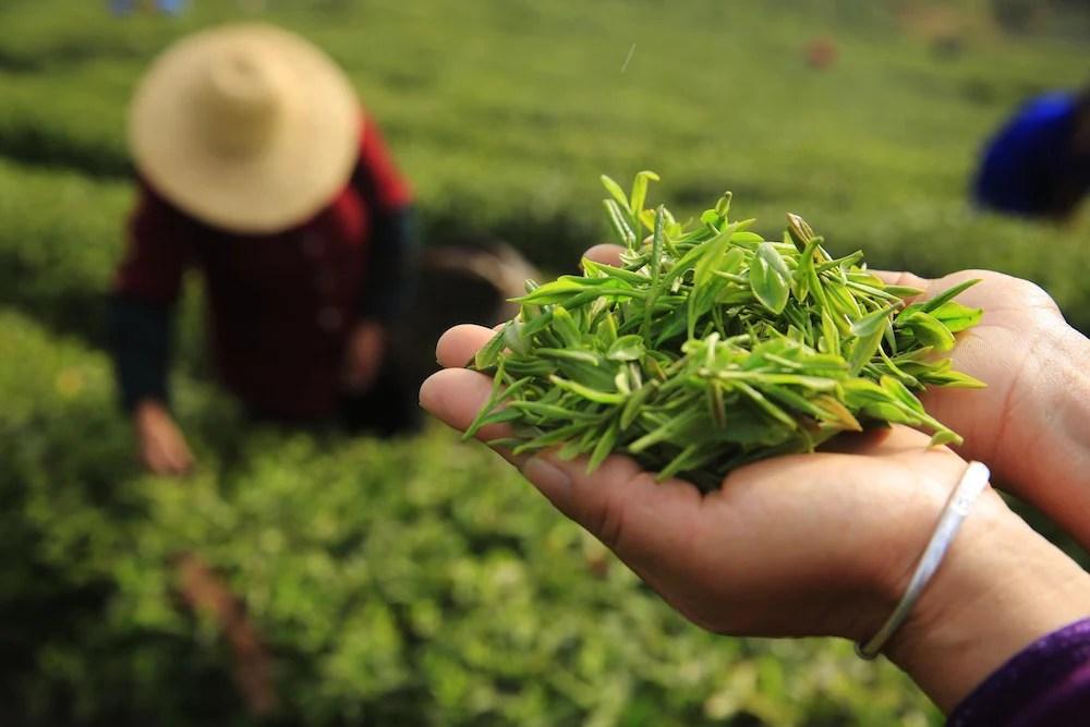 ผลการค้นหารูปภาพสำหรับ Chinese Tea