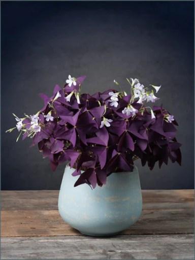 Oxalis Triangularis purple shamrock