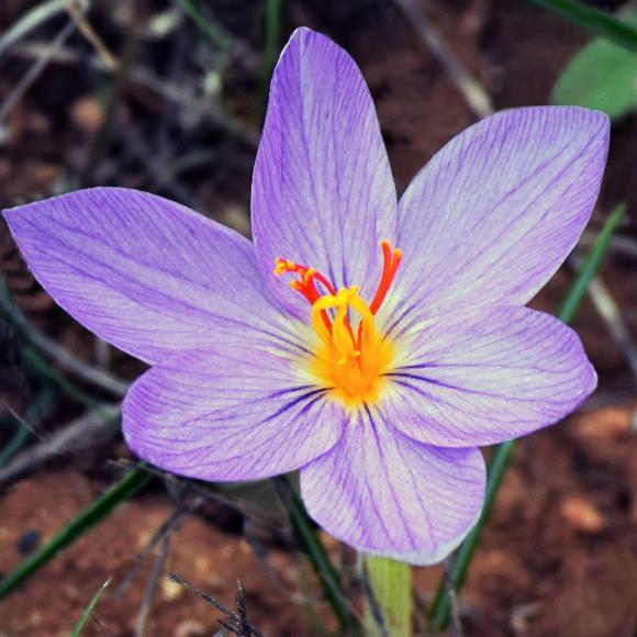 Crocus Sativus (Saffron Crocus) – Easy To Grow Bulbs