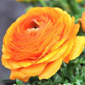 Ranunculus Bulbs Planting   Care Guide     Easy To Grow Bulbs Tecolote Ranunculus Gold