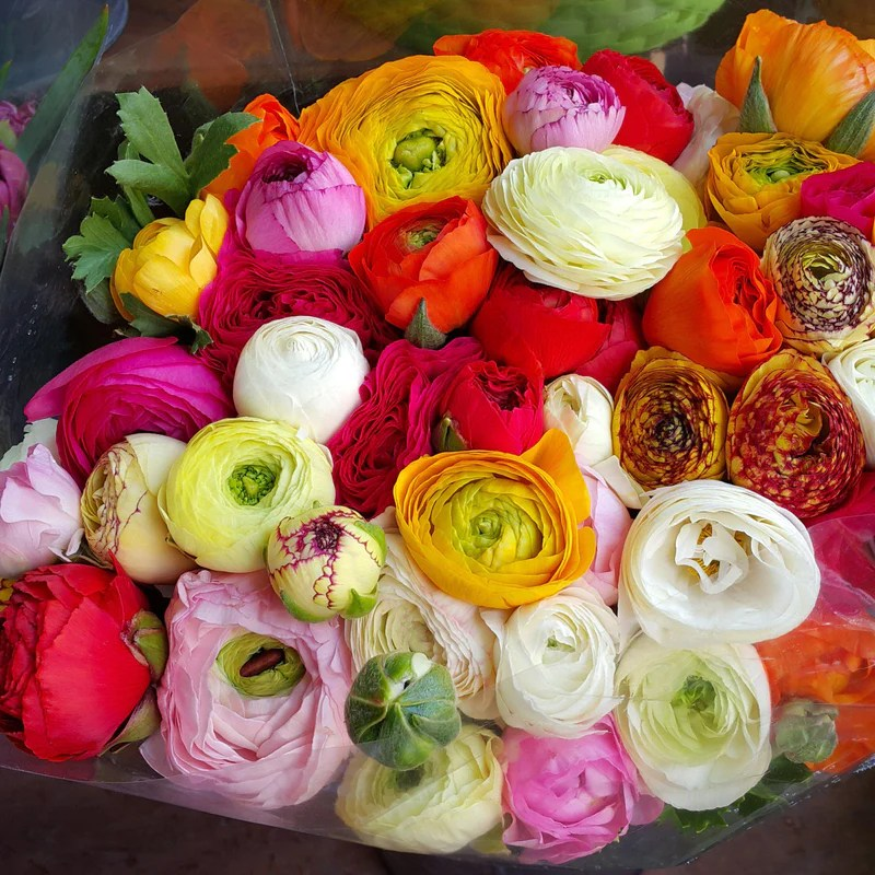 Tecolote Ranunculus Flower Fields Collection     Easy To Grow Bulbs Tecolote Ranunculus Flower Fields Collection