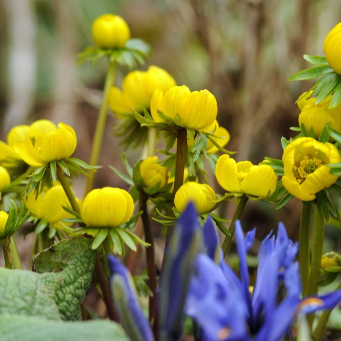 Electric Yellow Eranthis Bulbs For Sale Winter Aconite Easy To Grow Bulbs