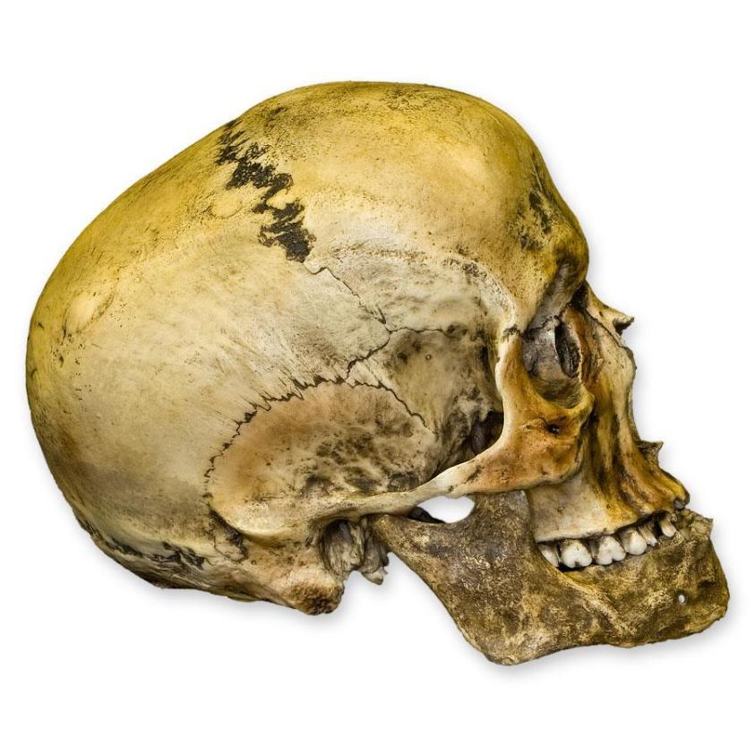 Replica Roman Gladiator Human Skull For Sale - Skulls ...