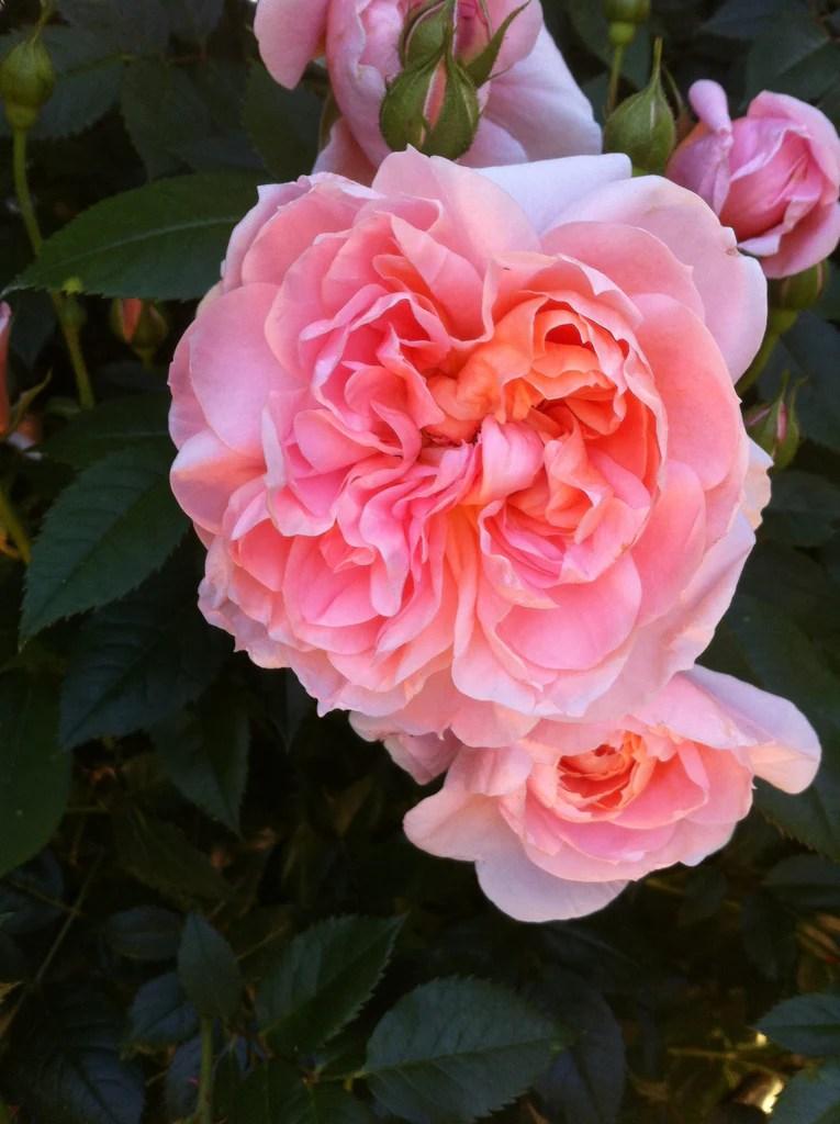 Winter Rose Bush Pruning