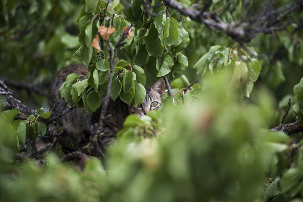 tabby cat hiding in the woods under cover of branches and bushes