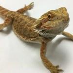 Bioactivity And Bearded Dragons By Josh Halter