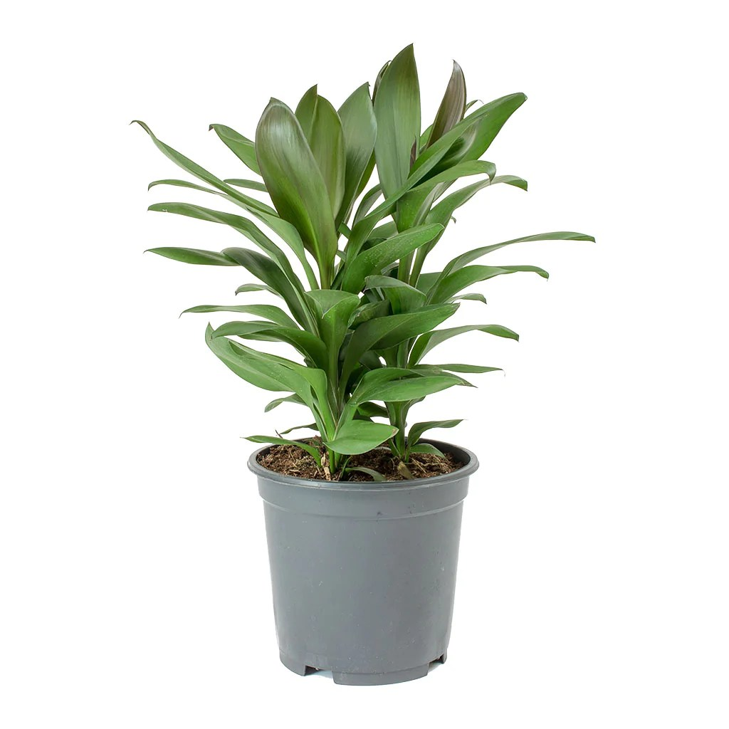 Best Kitchen Gallery: Cordyline Fruticosa Glauca Green Ti Plant Purify Your Air of Tropical House Plant Cordyline on rachelxblog.com
