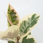 Ficus Decora Tineke Rubber Tree Plant Shop Seattle