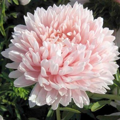Peach Aster Flower Seeds     Jack Seeds Peach Aster Flower Seeds