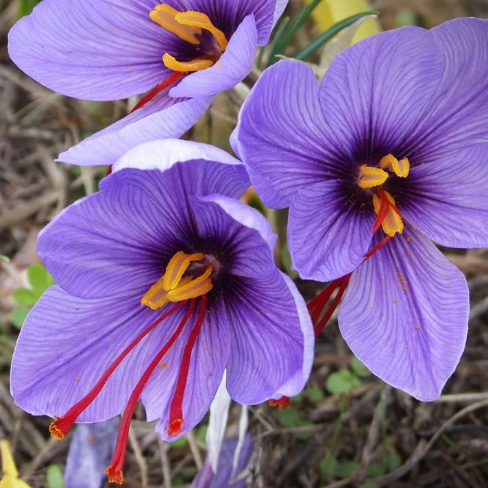 Wholesale & Bulk Flower Bulbs   DutchGrown®