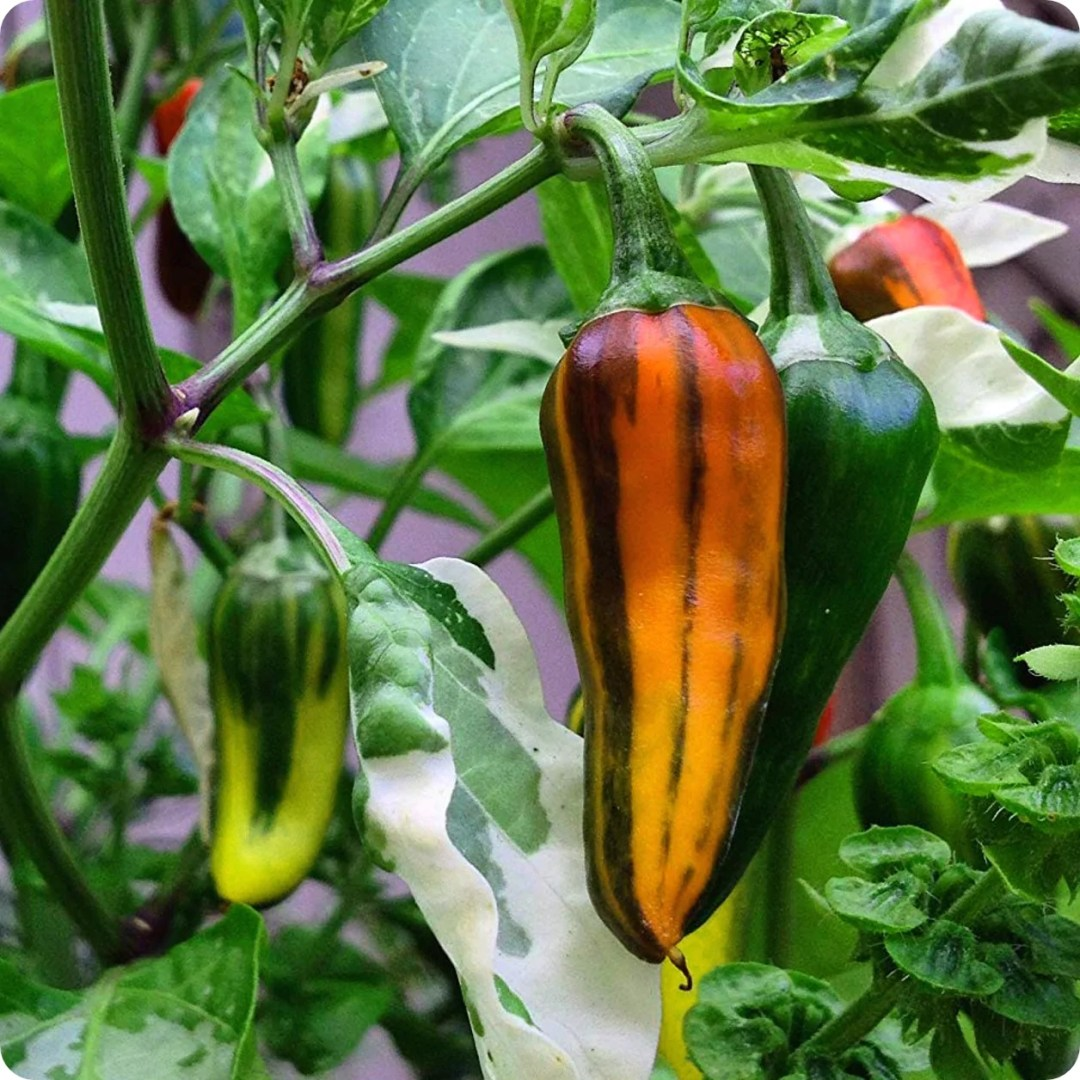 Fish Hot Pepper Seeds - Heirloom Untreated NON-GMO From Canada