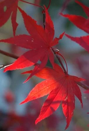 Buy Acer Palmatum Emperor 1 Red Japanese Maple Mr Maple Buy Japanese Maple Trees