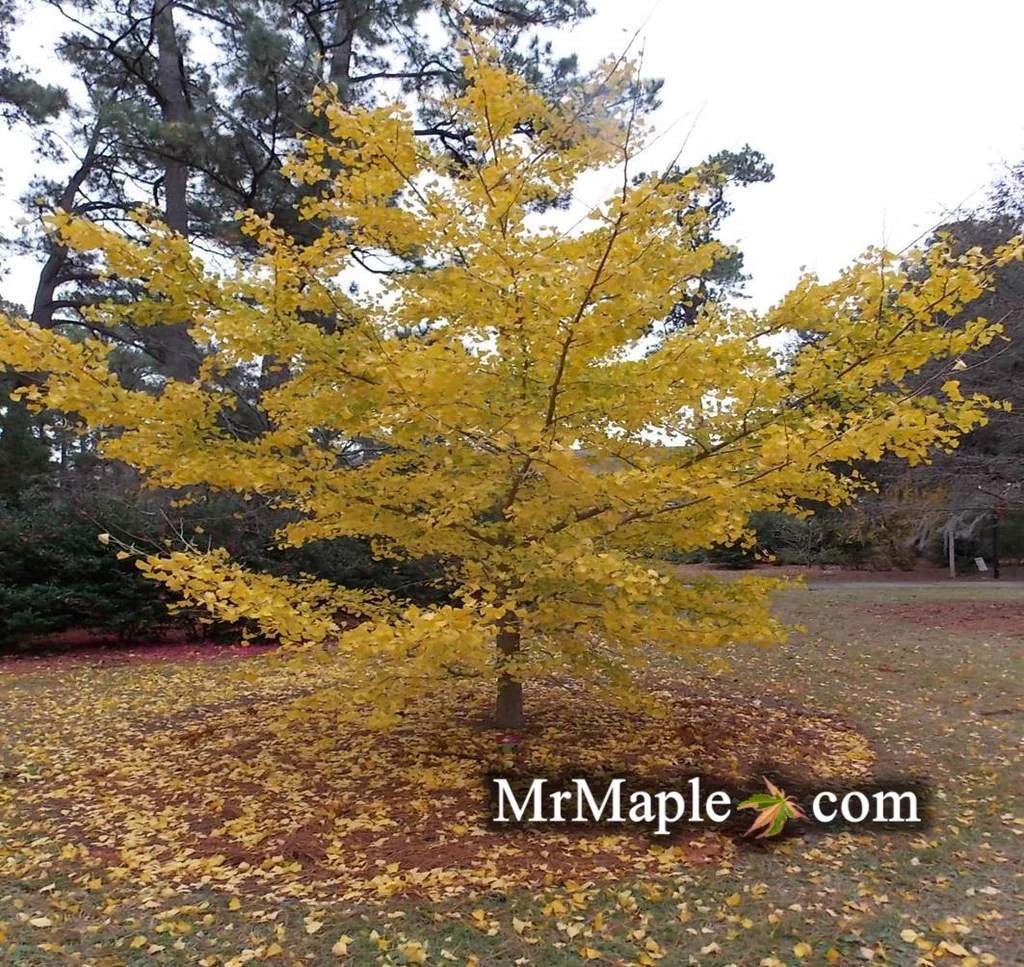 Buy Ginkgo Biloba Autumn Gold Ginkgo Tree Mr Maple