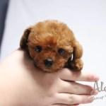 Teddy Bear Face Toy Poodle Coco Aloha Teacup Puppies
