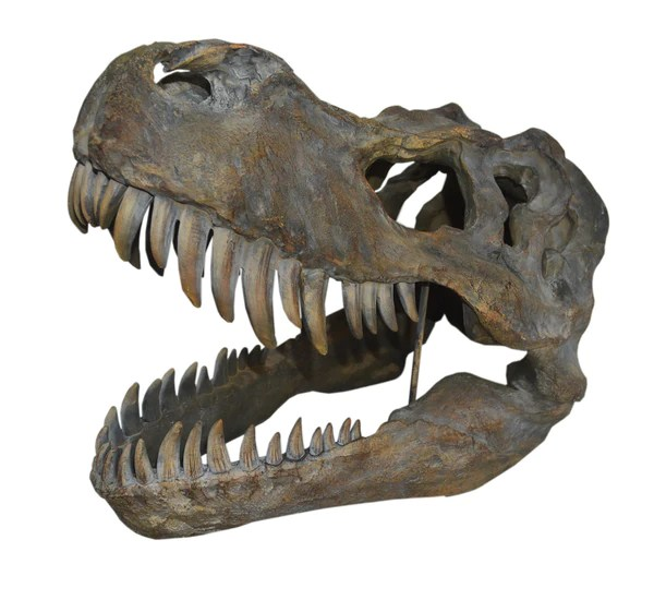 Dinosaur T Rex Skull Ornament Comfortzone Home Furnishers