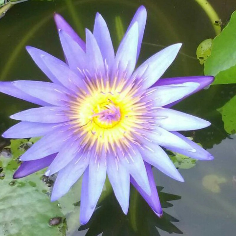Water Lily Indoor Plant