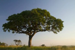 marula oil for acne- marula oil comes from the nut of the marula tree which grows in southern africa