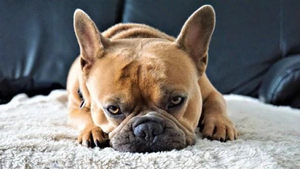 bain bulldog français