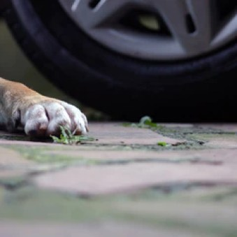 Thousands of dogs die on roads in United States every day