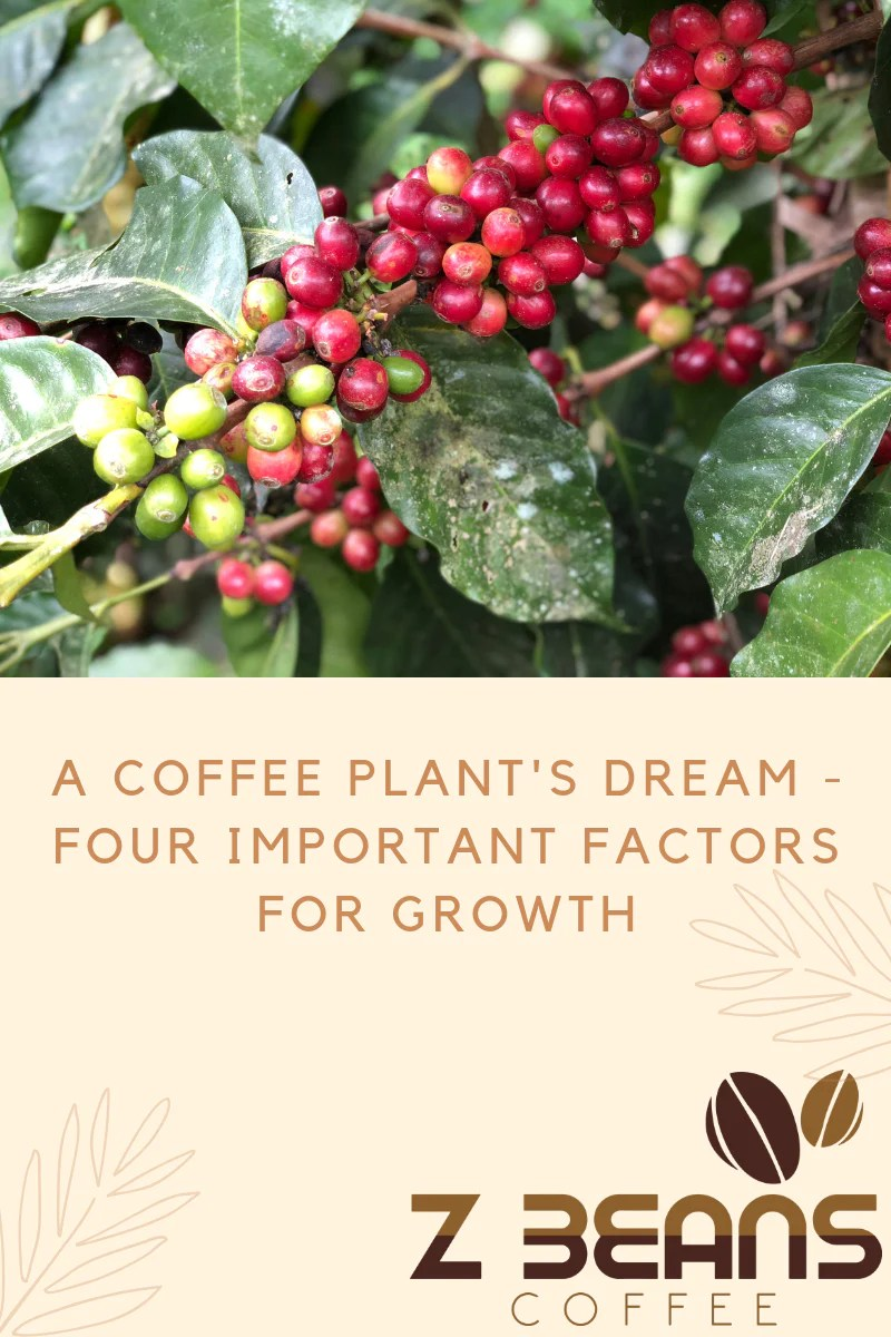 A Coffee Plant S Dream Four Important Factors For Growth Z Beans Coffee