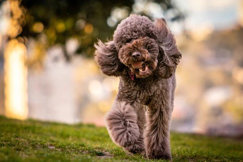 Tại sao Poodle được coi là loài chó cảnh tốt nhất  2