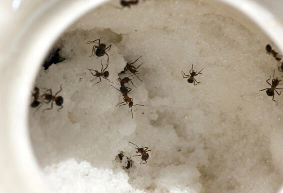 Natural Indoor Ant Treatment – Diatomaceous Earth