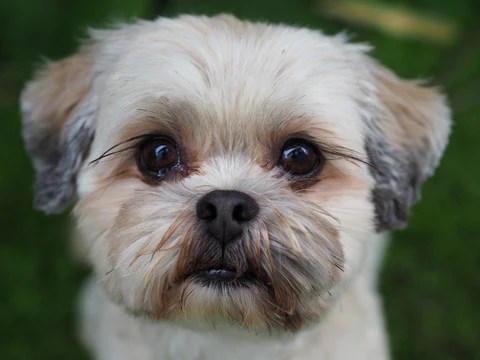 Lhasa apso Breed Guide