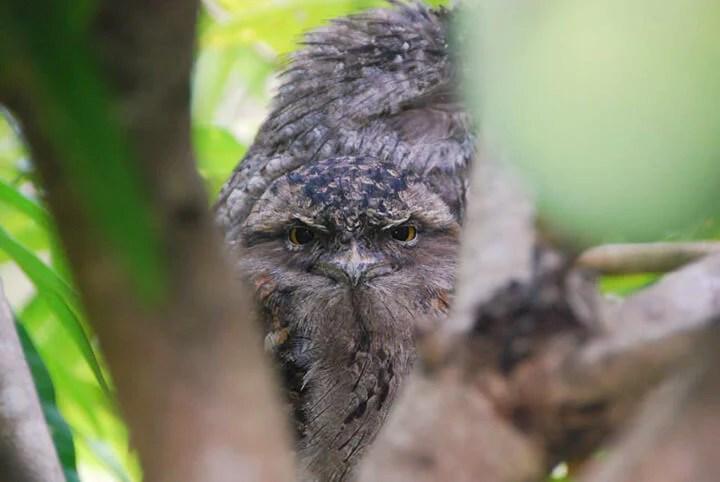 Tawny Frogmouth Pair - Tamanu Australia