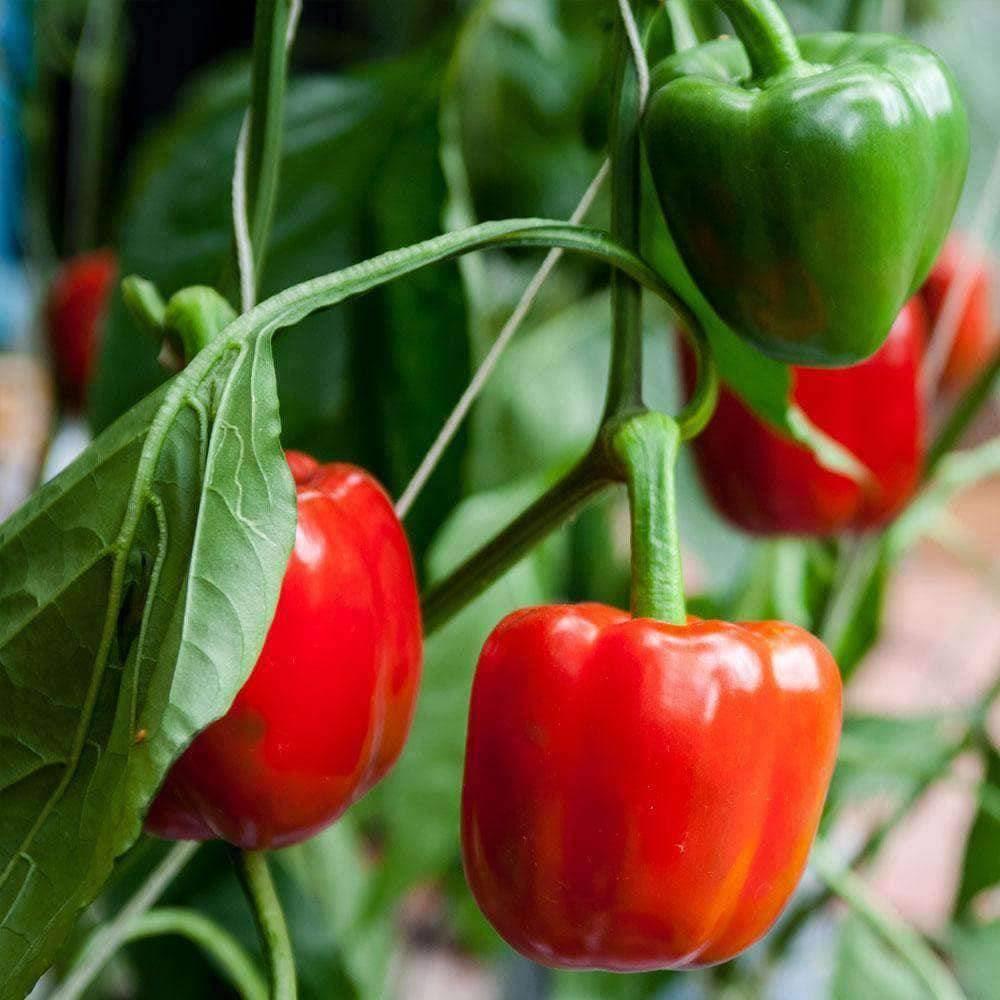 Organic Pepper Sweet California Wonder 250mg