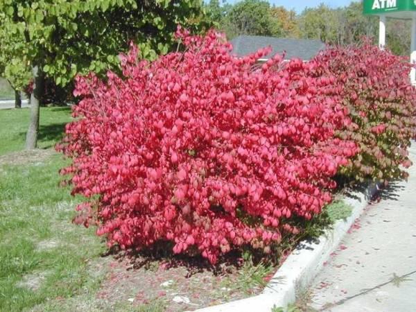burning bush # 73