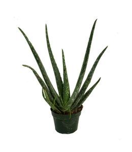 Aloe Vera 4 in