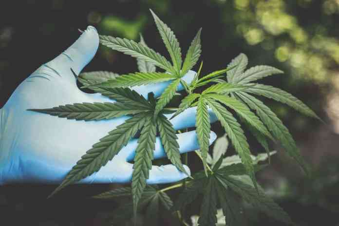 Gloved hand holding Cannabis sativa branch and leaves