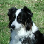 Bringing Home An Australian Shepherd Puppy What You Need To Know Karen Shanley